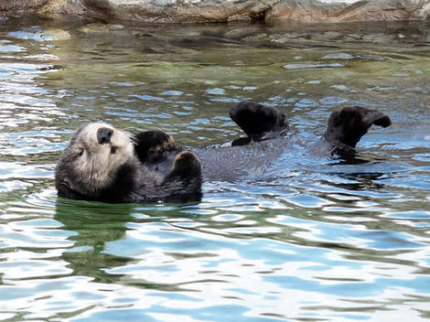 Seaotter_000_2