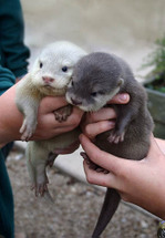 Otters_1